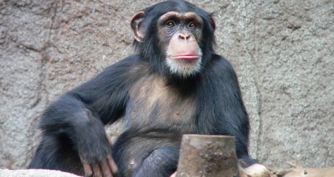 Chimpanzees Need Our Help