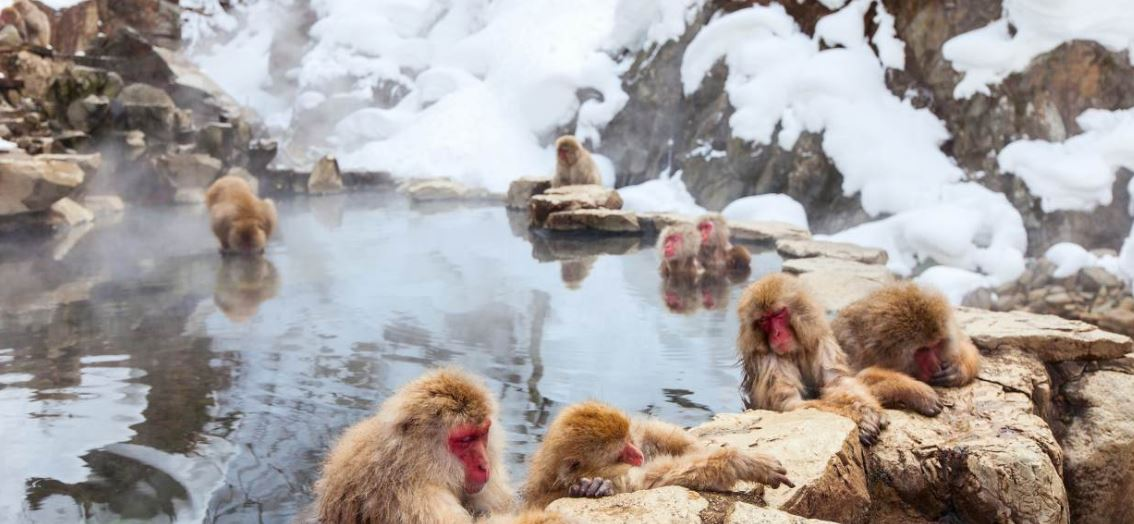 The Interesting Monkey Facts, Snow Monkey as a Funny and Amusing Monkey