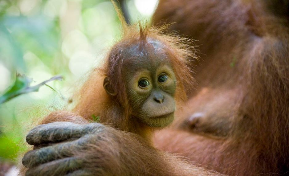 Orang utan Needs Our Help