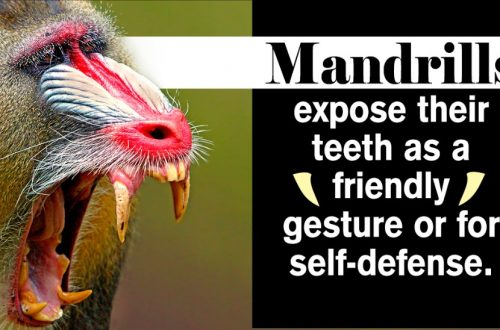 Mandrill Monkey Facts